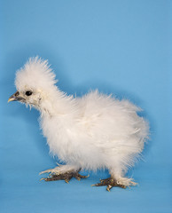Portrait of Japanese Silkie chick. (tommynguyen1957) Tags: blue portrait pet baby color bird chicken animal studio fuzzy small profile fulllength young nobody down chick indoors photograph poultry studioshot copyspace agriculture sideview farmanimal oneanimal domesticanimal animalsandwildlife japanesesilkie