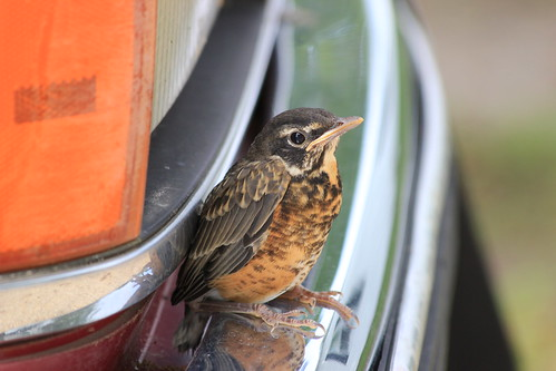 Baby Robin on the Bumper