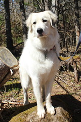 posing (ekpatterson) Tags: dog may sadie greatpyrenees 2013