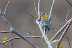 Golden-cheeked Woodpecker (sjdavies1969) Tags: birds animals mexico woodpeckers zihuatanejo animalia guerrero vertebrates picidae goldencheekedwoodpecker melanerpeschrysogenys