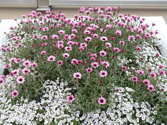 Pink and white flowers (seikinsou) Tags: pink white flower station japan spring terrace jr osaka osakacity