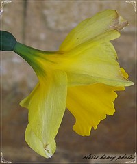 beautiful daffodil (frenchmum) Tags: flowers yellow macroshots flowersandcolours flowerarefabulous wonderfulworldofflowers vigilantphotographersunite