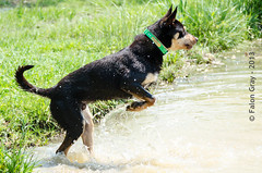 Limit Swims 2013-05-21-1 (falon_167) Tags: dog australian limit kelpie australiankelpie
