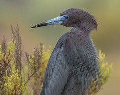 Little Blue Heron (lahorstman) Tags: pointloma littleblueheron famosaslough