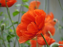 poppies 010 (cellocarrots) Tags: poppies
