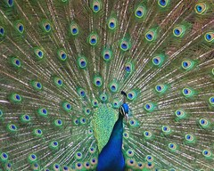 Psychedelic (kimpossible pics) Tags: nature birds outdoors losangeles wildlife peacock griffithpark losangeleszoo zoos