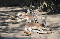 Red Kangaroos (thoth1618) Tags: philadelphia mammal pennsylvania pa kangaroo philly marsupial redkangaroo photooftheday phila philadelphiazoo macropusrufus