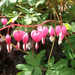 bleeding hearts (my little red suitcase) Tags: pink bleedinghearts