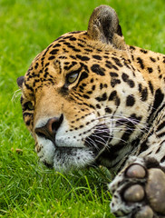 Wildlife Heritage Foundation - May 2013 (patrick-walker) Tags: canon eos patrick spots walker bigcat 7d jaguar canon100400 100400 wildlifeheritagefoundation whf anawesomeshot canon7d flickrbigcats