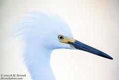 Snowy Egret -portrait (Bob Stronck) Tags: avian snowyegret redwoodcity redwoodshores sanmateocounty egrettathula heronlikebirds stronckphotocom birdsofsanfranciscobay ©2013rmstronck