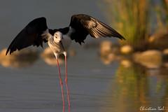 Etirements matinaux (kick_15) Tags: himantopushimantopus blackwingedstilt charadriiformes mazères echasseblanche récurvirostridés domainedesoiseaux