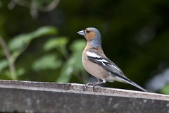 Chaffinch (carpentry) Tags: bird birds dorset bournemouth chaffinch gardenbirds