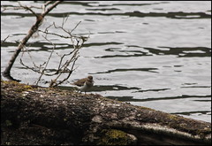 Common sandpiper (catb -) Tags: bird sandpiper donegal commonsandpiper actitishypoleucos