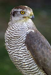goshawk close up (MrSeabra) Tags: wild portrait sky brown white bird eye nature look animal yellow freedom bill blood branch power looking eagle head hawk wildlife watching profile hunting flight wing beak feathers young feather sharp raptor falcon stare strong hunter prey predator northern majestic ornithology isolated avian carnivore falconry talons plumage goshawk accipiter gentilis