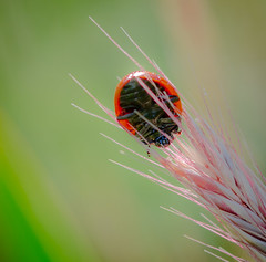 Blowing in the Wind today. (Omygodtom) Tags: pink red wild summer macro green art grass bokeh ladybug existinglight tamron90mm d7000 elitebugs