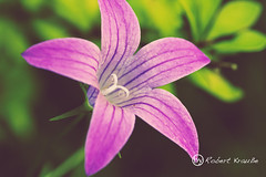 Pink Beauty (redEOS92) Tags: pink summer plant flower macro green beauty meadow magenta blume