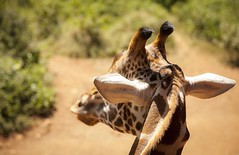 (Squirl House) Tags: nature animal kenya nairobi safari giraffe