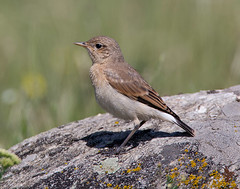 Juv. Isabelline Wheatear