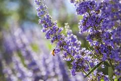 Lavender & Bee (avrene) Tags: garden bees nursery lavender