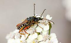 l'insecte aime la levrette (bruneliberty) Tags: flowers macro fleurs canon garden jardin insecte macrophotography macrophotographie canonef100mmf28macro 450d levrette jardinssanslimites macrolux jeuxdejardins