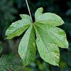 Pentaleaf (mbatalla82) Tags: plants leaves costarica places jpg img teleferico brauliocarrillo guapiles 6541 telefericoguapilesimg6541jpg