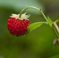 Walderdbeere (sirona27) Tags: rot thringen pflanze grn bltter frucht walderdbeere fragariavesca wildpflanze