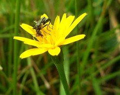 visto che muscoli ? (fotomie2009) Tags: wild male nature yellow insect beetle coleoptera nobilis pollination insecta maschio oedemera coleottero impollinazione