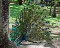 Peacock - Casela, Mauritius (littlestschnauzer) Tags: park blue green bird nature beautiful birds gardens out eyes nikon display wildlife feathers peacock mauritius fanned casela d5000 elementsorganizer11