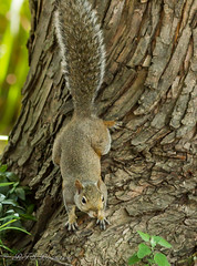 Squirrel starting the day! (Rick Smotherman) Tags: wood trees summer stpeters nature leaves canon garden outdoors morninglight backyard squirrel august 7d canon300mmf4l canon7d