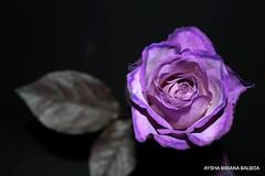 Para T... una rosa violeta Ele... (Aysha Bibiana Balboa) Tags: rosa rosas photosandcalendar excellentsflowers natureselegantshots mimamorflowers flickrflorescloseupmacros greatshotss mygearandme mygearandmepremium exquisiteflowersflowersarrebaeutifulmacroselsalvadormixedflowersfaunaandfloraoftheworld todotipoderosas rosasdetodosloscolores distintostiposderosaslarosa