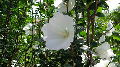 whit flowers and green leaves (oneroadlucky) Tags: white plant flower nature hibiscus