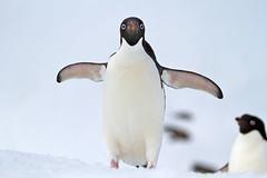 Adelies on Snow (jpmckenna - Tenquille Lake Up Next) Tags: penguin penguins antarctica hopebay adelie pygoscelisadeliae getoutside adliepenguin zodiaccruising penguinsonsnow