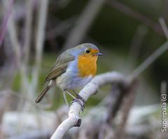 Pettirosso (Superpaia) Tags: avifauna pettirosso