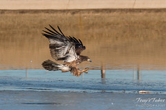 Juvenile Bald Eagle Dashes and Dines - 1 of 6