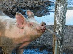 Cerdo Bebiendo (Surgo (Diego Otero)) Tags: pig maiale porc porco