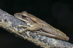 Polypedates leucomystax IMG_7878a copy (Kurt (OrionHerpAdventure.com)) Tags: amphibian frog amphibians herps herpetology amphibia herpetofauna tropicalfrogs polypedatesleucomystax polypedates fourlined fourlinedtreefrog