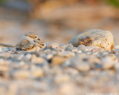 Two brothers (v4vodka) Tags: nature animal wildlife chick birdwatching plover pipingplover shorebird charadriusmelodus pipingploverchick birdbirding sieweczkablada