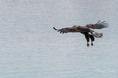 Juvenile Bald Eagle fishing sequence - 1 of 13