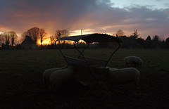 Sheep eat at sunset