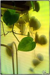 Shadowplay part 2 (ViTaRu) Tags: cameraphone plant green leaves wall nokia shadows serene lumia1020