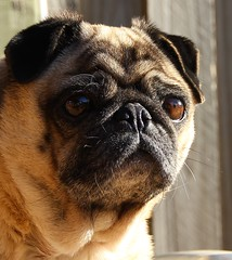 Hydi Pug Relax (Gillbo.) Tags: relax pug