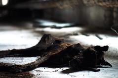 Where dead dogs lie. (LiamCH) Tags: dog deadanimals ukraine ussr chernobyl deaddog pripyat exclusionzone chernobyldisaster