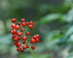 Red Baneberries (hickamorehackamore) Tags: summer ma berries massachusetts july framingham poisonous redbaneberry actaearubra gardeninthewoods newenglandwildflowersociety 2013
