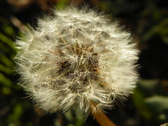 3-7-15 669 (LeeLee's pictures) Tags: 3715 citypark neworleans louisiana plants flowers woods trails nature naturetrial animals trees dandelions yellow flower wildflower weeds makeawish white flyaway