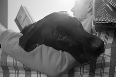 Close & Comfy (emilykirsten3) Tags: christmas family dog white black puppy happy reading chair labrador dad looking sleepy softie cosy comfy