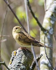 Grasshopper Warbler (Mrs_Hadfield) Tags: uk bird nature beautiful outdoors wildlife warbler rspb burtonmere