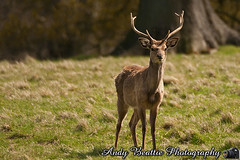 2016-05-04-033 (Andy Beattie Photography) Tags: uk england nature mammal photography europe photographer wildlife yorkshire deer halifax ungulate northyorkshire westyorkshire ripon eventoed pecora cervusnippon sikadeer hoofed andybeattie andybeattiephotography