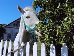 Te v.... (Ana_1965_2010) Tags: horse naturaleza white blanco nature animal fauna caballo cheval natur natura koh bianco cavalo blanc pferd kuda hest paard cavall ceffylau equino l vit konj hobune cabalo capall fotografiadenaturaleza anawilli