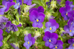 Sorbet XP Blue Heaven (Tim Stinger) Tags: blue plants flora heaven xp stinger sorbet mortonarboretum blueheaven sorbetxpblueheaven xpblueheaven timstinger