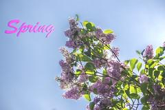 Syringa vulgaris (BauquePhoto) Tags: flowers blue sky flower tree green beautiful spring heaven purple text tr himmel syren blomst blomster lilla vulgaris flot forr 2016 syringa syringavulgaris grn smuk textwork